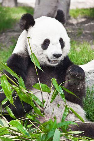Panda gigante está comiendo hojas de bambú verde  Foto de archivo