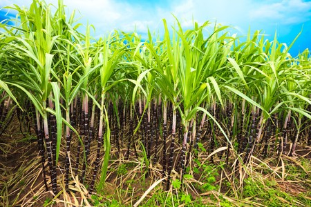 Sugar cane plantation. Khanh Hoa province. Vietnam