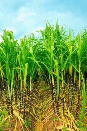 sugar cane farm: Sugarcane plantation. Khanh Hoa province in Vietnam Stock Photo