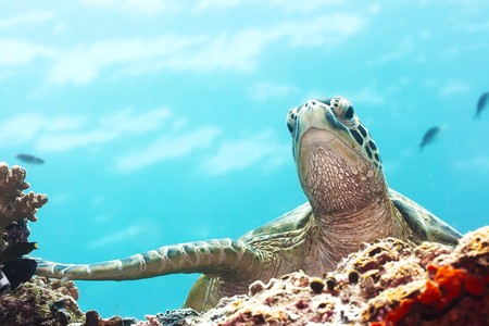 carribean: Green Turtle underwater close-up. Sipadan. Celebes sea