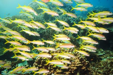 School of yellowfin goatfish (Mulloidichthys vanicolensis) underwater. Andaman sea Stock Photo - 7503367