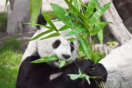 Feeding time. panda eating bamboo leaf photo