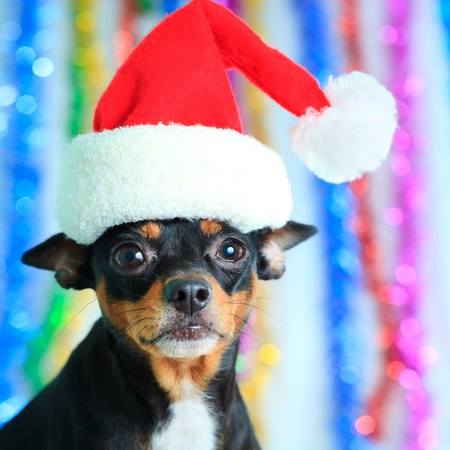 Toy terrier dog in a Santas hat photo