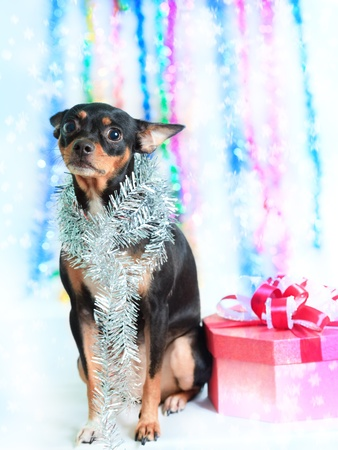 Toy terrier dog with gift box for christmas photo