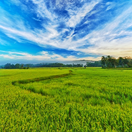 Panorama of the paddy rice field. Philippines Stock Photo