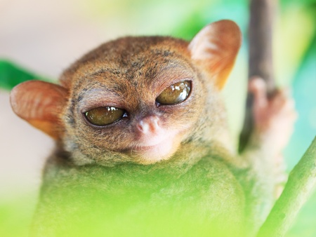 philippine: Funny Philippine tarsier (Tarsius syrichta). Bohol. Philippines Stock Photo