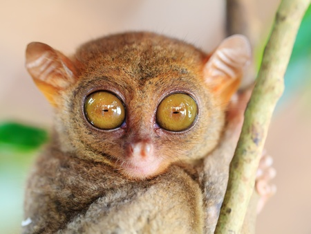 species: Funny Philippine tarsier (Tarsius syrichta). Bohol. Philippines Stock Photo