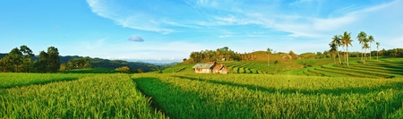 Panorama of the paddy rice field. Philippines 免版税图像