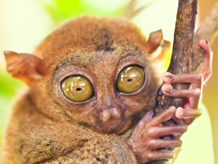 Funny Philippine tarsier (Tarsius syrichta). Bohol. Philippines 免版税图像