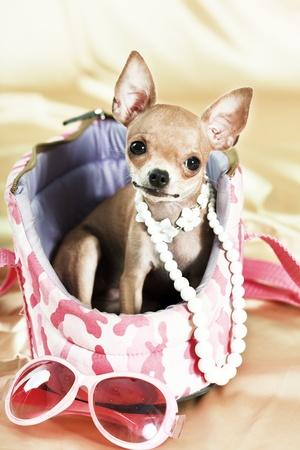 perro chihuahua: Cachorro de Chihuahua gracioso.  Foto de archivo