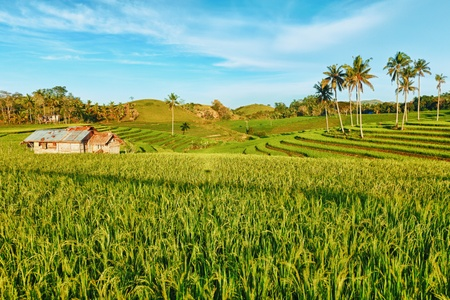 bohol: Paddy rice field at day time. Bohol. Philippines