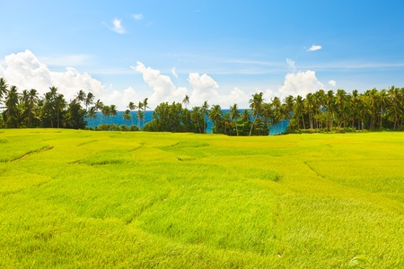 Paddy rice field. Sea on the background Stock Photo - 9303515