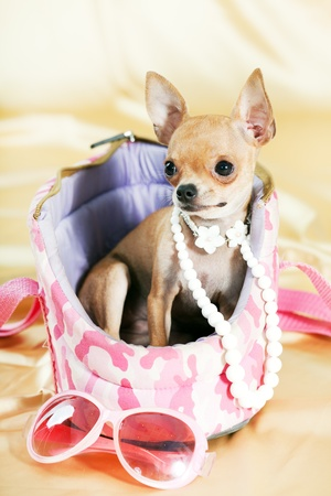 Funny Chihuahua puppy. The smallest breed of dog Stock Photo