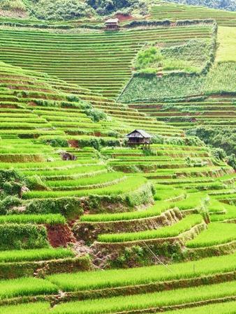 gradas: Vista hermosa de un campos de arroz con c�scara