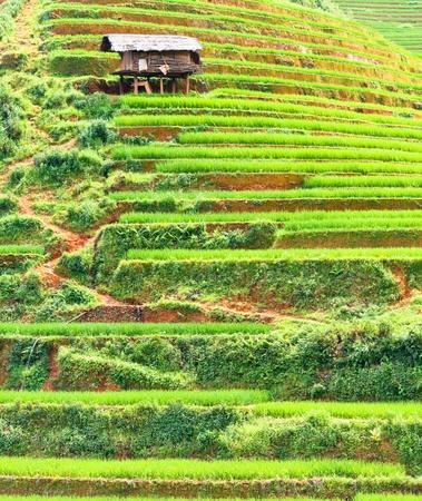 Beautiful view of a paddy rice fields photo
