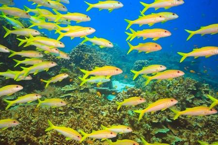 goatfish: School of yellowfin goatfish (Mulloidichthys vanicolensis) underwater. Andaman sea