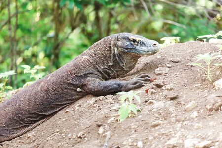 Komodo Dragon on the nest (Varanus komodoensis). Rinca Stock Photo - 11910217