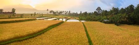 Panorama of the paddy rice field. Bali Stock Photo - 11963375