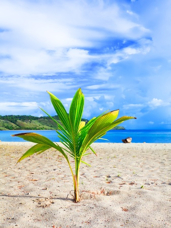 Coconut sprout on the tropical beach photo