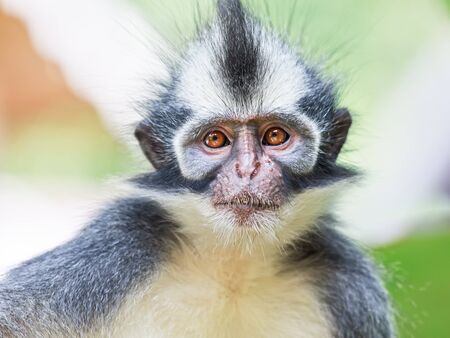 thomas: Thomass leaf monkey. Bukit Lawang, Gunung Leuser National Park, Sumatra.