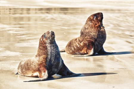 Wildlife photo of a New Zealand sea lions photo