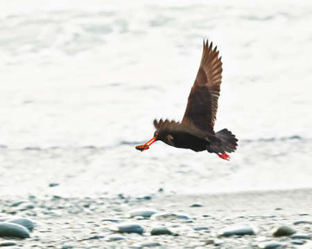 variable: The Variable Oystercatcher  Haematopus unicolor   Stock Photo