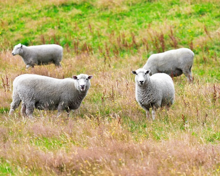 Flock of sheeps on the meadow Stock Photo - 12850424