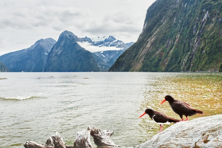 Milford sound. Oystercatchers on the foreground Stock Photo - 12850861