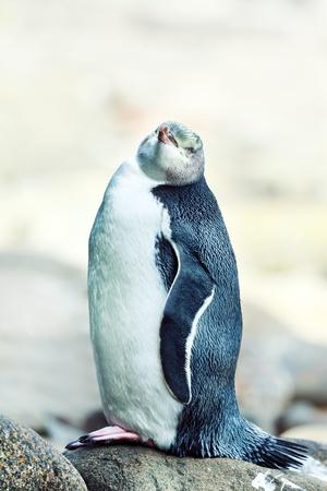 yellow eyed penguin: Wildlife photo of a Yellow-eyed Penguin