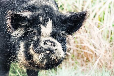 Portrait of a funny boar photo