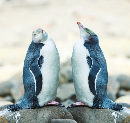 australasia: Wildlife photo of a Yellow-eyed Penguins Stock Photo