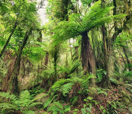maori: The New Zealand native bush  Fern tree