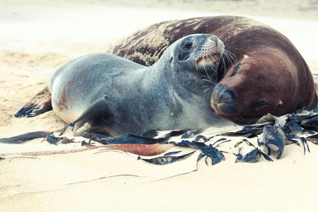 Wildlife photo of a New Zealand sea lions