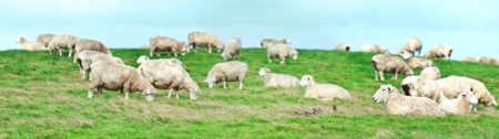 Flock of sheeps panorama. Shallow DOF photo