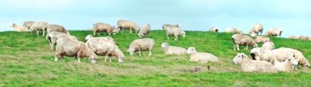 sheeps: Flock of sheeps panorama. Shallow DOF Stock Photo