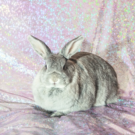 Studio shot of cute domestic rabbit sitting. Stock Photo - 13959730