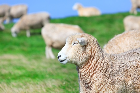 lambing: Flock of sheeps on the meadow Stock Photo