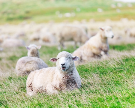 Flock of sheeps on the meadow Stock Photo