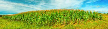 Panorama of the corn field. Vietnam Stock Photo - 14570332
