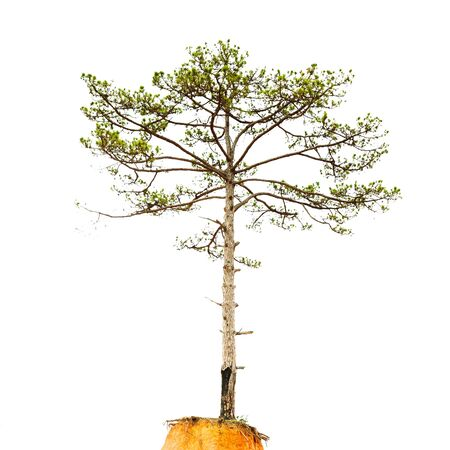 pinetree: Pinetree isolated on a white background Stock Photo