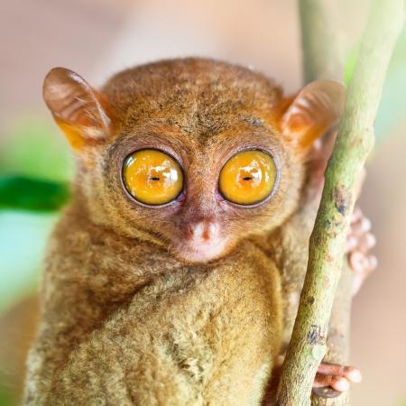 monos: Divertido tarsier filipino Tarsius syrichta Bohol Filipinas