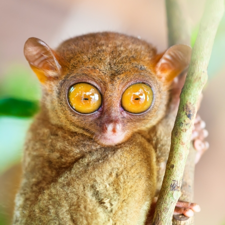 bohol: Funny Philippine tarsier  Tarsius syrichta   Bohol  Philippines