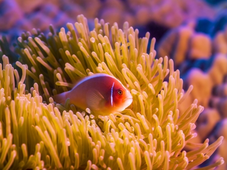 symbiosis: Anemone and Pink clownfish close-up