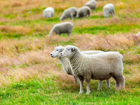 Flock of sheeps on the meadow photo
