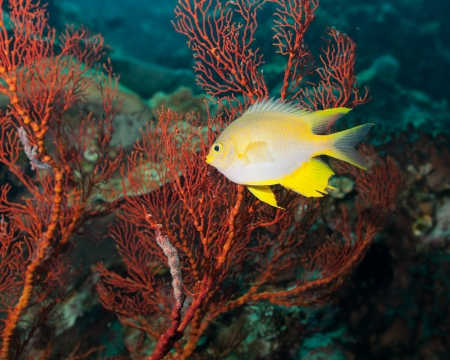 gorgonian: Golden damselfish and red gorgonian coral