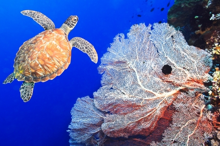 Turtle swimming underwater among the gorgonian coral