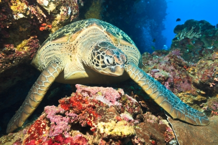 Hawksbill sea turtle (Eretmochelys imbricata) on the coral reef photo