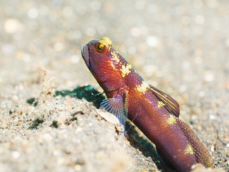 celebes: Macro shot of a tropical fish Goby underwater Stock Photo