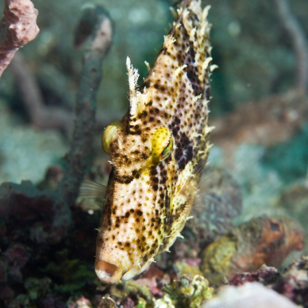 celebes: Macro shot of a tropical fish Filefish underwater