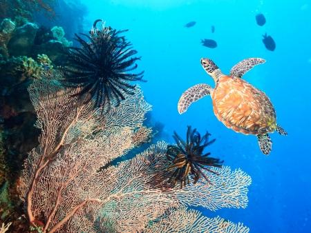 gorgonian: Turtle swimming underwater among the gorgonian coral